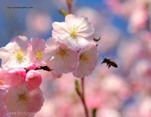 Bee_blossom